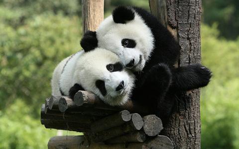 春节亲子游:四川熊猫基地什么app能领现金红包五天纯玩游